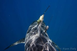 Shark tagging - Ryan Daly Photography